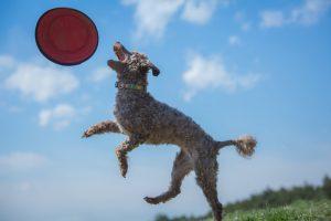 芸を覚えようとしている犬の写真