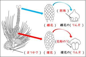マツの花の問題の解答が載っている画像