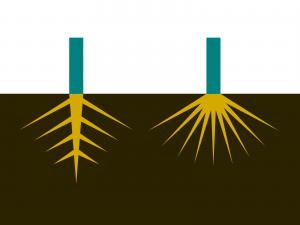 ひげ根と主根・側根のイラスト