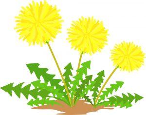 たんぽぽの花のイラスト