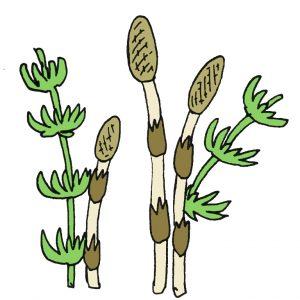 シダ植物のイラスト