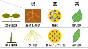 双子葉類と単子葉類の根・葉・茎の違いをまとめた表