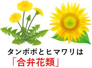 タンポポとヒマワリは合弁花類